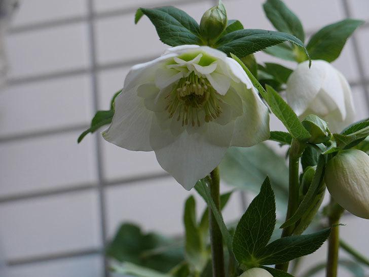 アシュードホワイトシフォンの花が綺麗に咲いた。2021年-008.jpg
