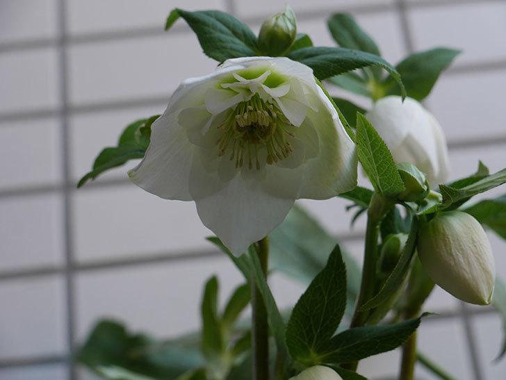 アシュードホワイトシフォンの花が綺麗に咲いた。2021年-009.jpg