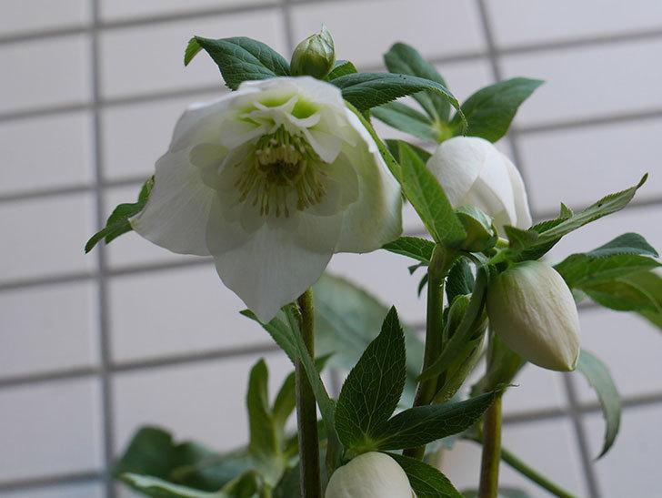 アシュードホワイトシフォンの花が綺麗に咲いた。2021年-010.jpg