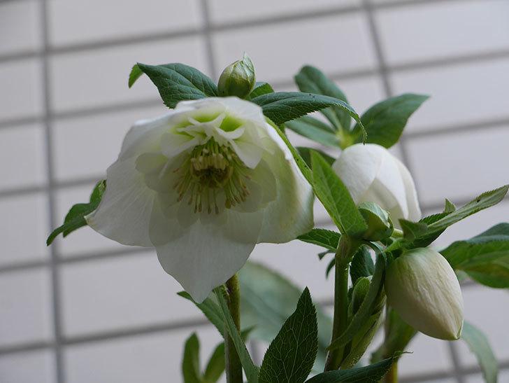 アシュードホワイトシフォンの花が綺麗に咲いた。2021年-011.jpg
