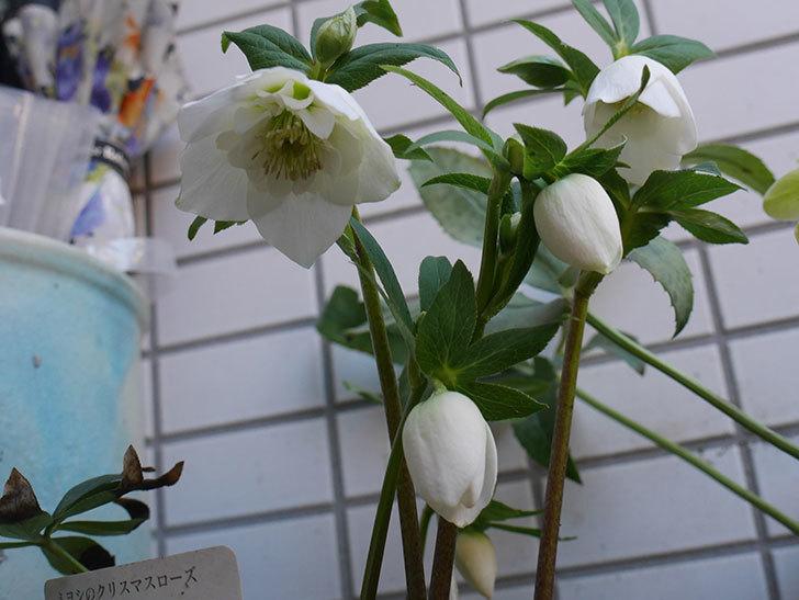 アシュードホワイトシフォンの花が綺麗に咲いた。2021年-013.jpg