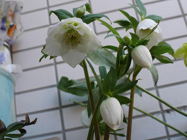 アシュードホワイトシフォンの花が綺麗に咲いた。2021年-015.jpg