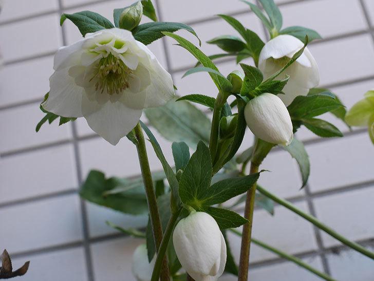 アシュードホワイトシフォンの花が綺麗に咲いた。2021年-016.jpg