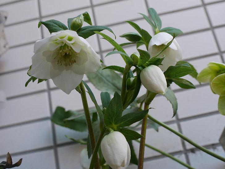 アシュードホワイトシフォンの花が綺麗に咲いた。2021年-017.jpg