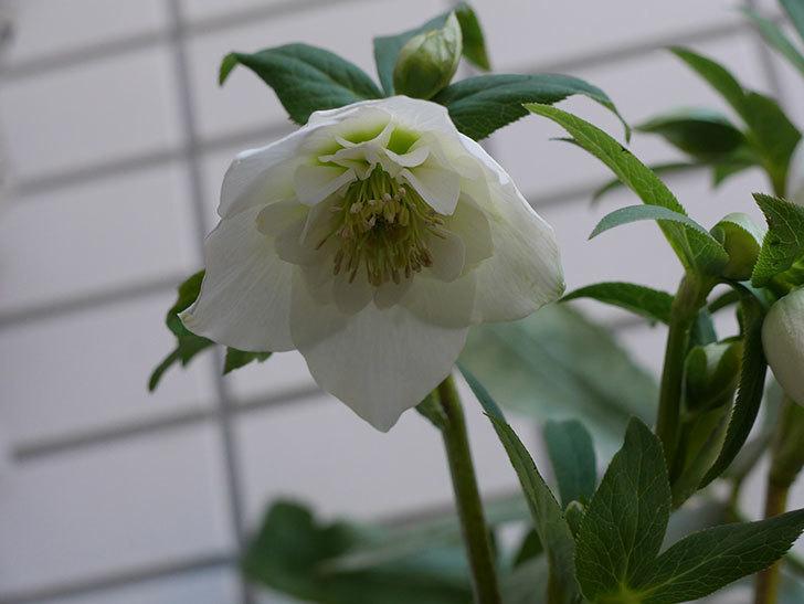 アシュードホワイトシフォンの花が綺麗に咲いた。2021年-018.jpg