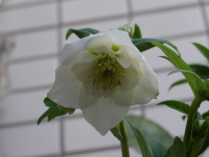 アシュードホワイトシフォンの花が綺麗に咲いた。2021年-019.jpg