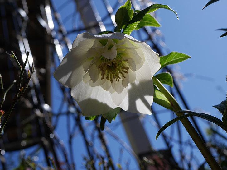 アシュードホワイトシフォンの花が綺麗に咲いた。2021年-024.jpg