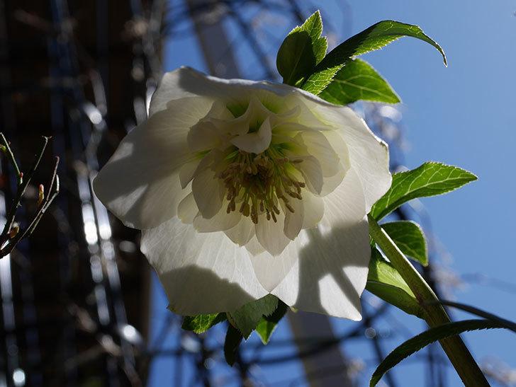 アシュードホワイトシフォンの花が綺麗に咲いた。2021年-025.jpg
