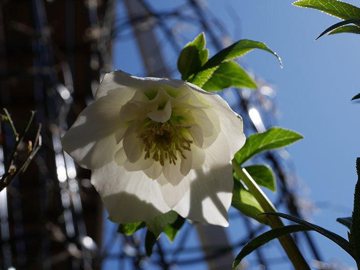 アシュードホワイトシフォンの花が綺麗に咲いた。2021年-026.jpg