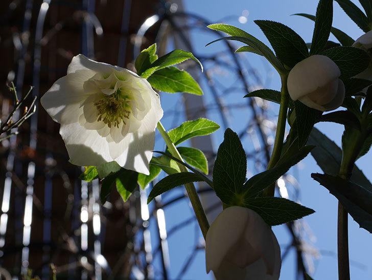 アシュードホワイトシフォンの花が綺麗に咲いた。2021年-030.jpg