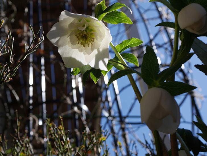 アシュードホワイトシフォンの花が綺麗に咲いた。2021年-031.jpg