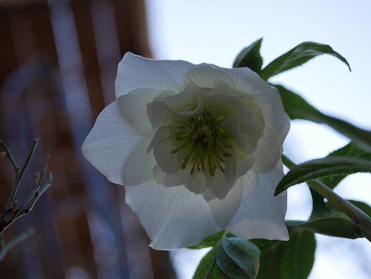 アシュードホワイトシフォンの花が綺麗に咲いた。2021年-035.jpg
