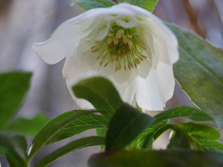 アシュードホワイトシフォンの花が綺麗に咲いた。2021年-037.jpg