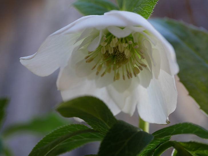 アシュードホワイトシフォンの花が綺麗に咲いた。2021年-038.jpg