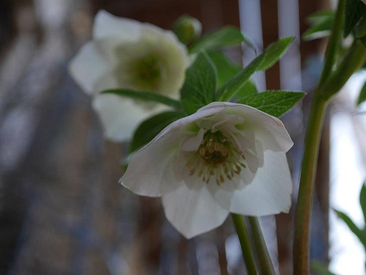 アシュードホワイトシフォンの花が綺麗に咲いた。2021年-043.jpg