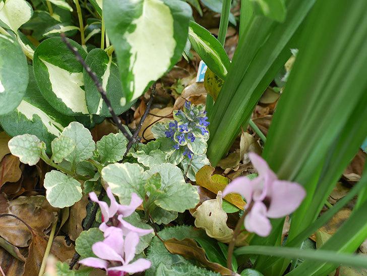 アジュガ-シュガープラムの花が咲いた。2018年-2.jpg