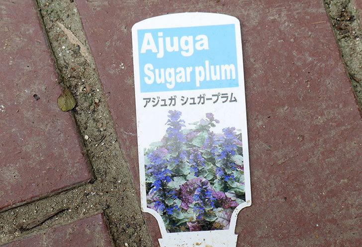 アジュガ-シュガープラムをホームズで2個買ってきた。2017年-5.jpg