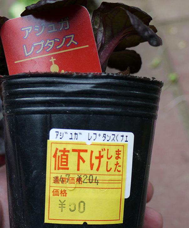 アジュガ-レプタンスがホームズで50円だったので2個買って来た5.jpg