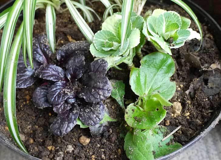アジュガ-レプタンスと葉牡丹を鉢に植えた2.jpg