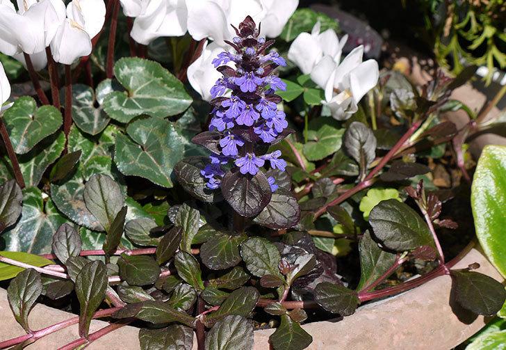 アジュガ-レプタンスの花が咲いた1.jpg
