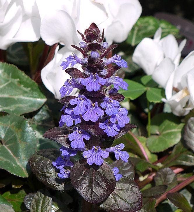 アジュガ-レプタンスの花が咲いた2.jpg