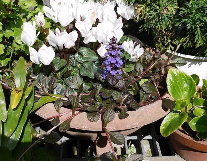 アジュガ-レプタンスの花が咲いた3.jpg