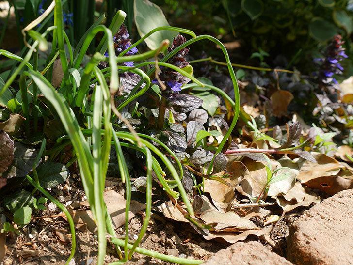 アジュガ-レプタンスの花が咲きだした。2019年-4.jpg