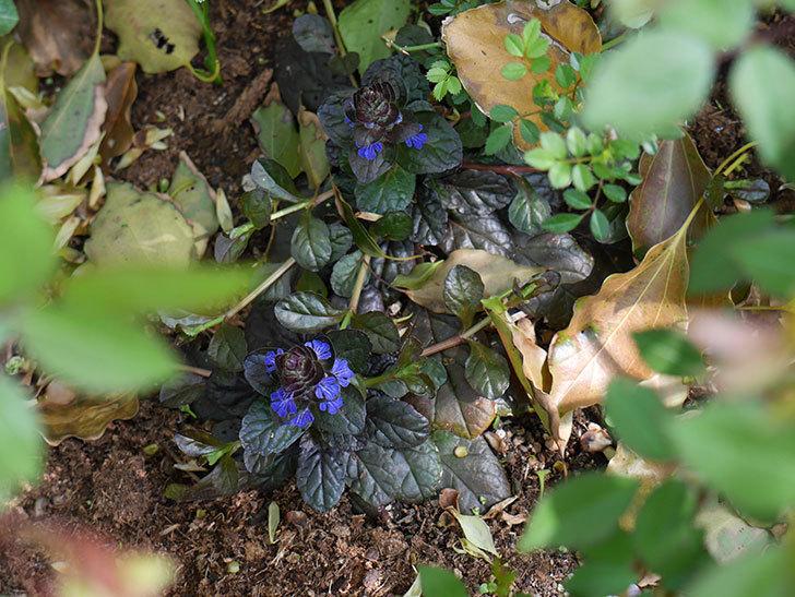 アジュガ-レプタンスの花が増えてきた。2018年-5.jpg