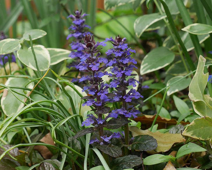 アジュガ-レプタンスの花が増えて来た。2019年-1.jpg