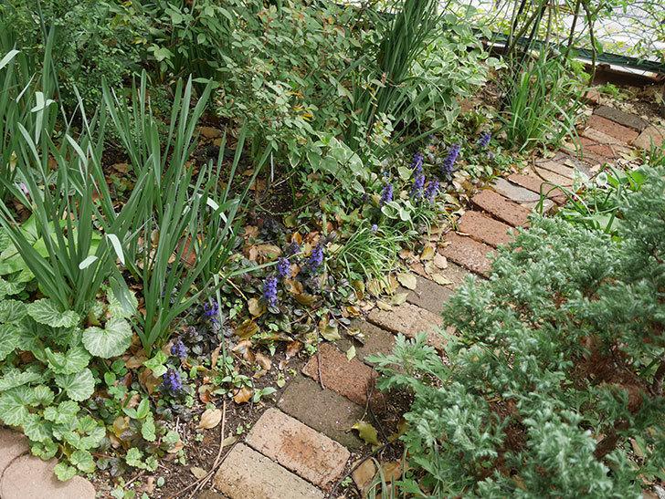 アジュガ-レプタンスの花が増えて来た。2019年-2.jpg