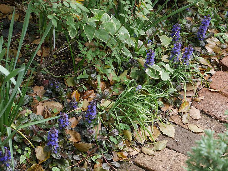 アジュガ-レプタンスの花が増えて来た。2019年-3.jpg