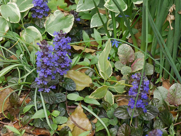 アジュガ-レプタンスの花が増えて来た。2019年-4.jpg