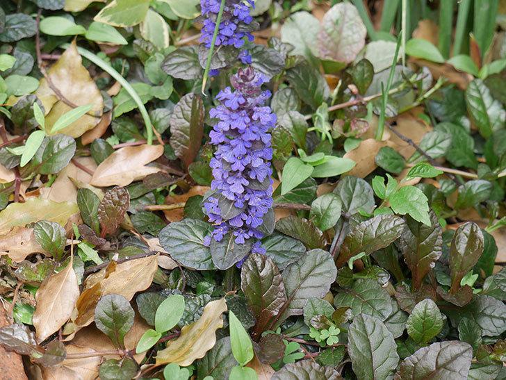アジュガ-レプタンスの花が増えて来た。2019年-5.jpg