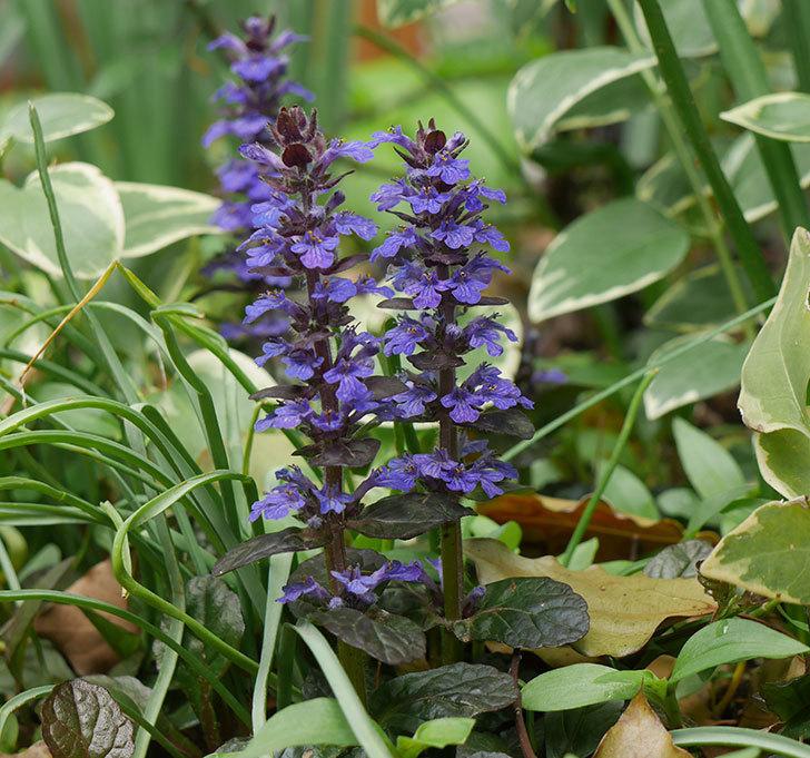 アジュガ-レプタンスの花が増えて来た。2019年-7.jpg