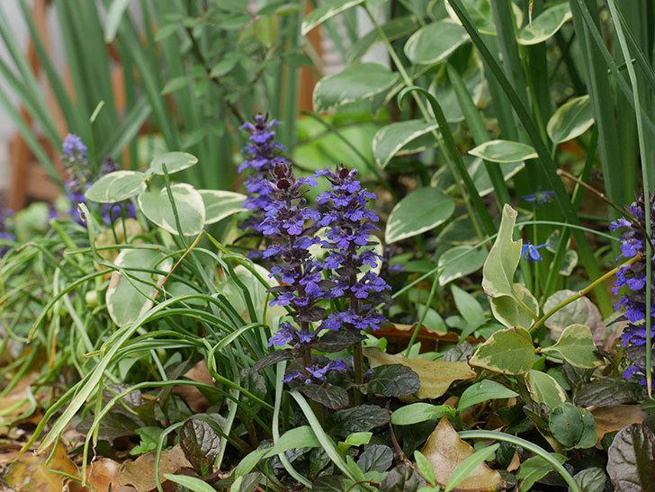アジュガ-レプタンスの花が増えて来た。2019年-8.jpg