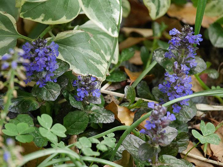 アジュガ-レプタンスの花が増えて来た。2020年-1.jpg