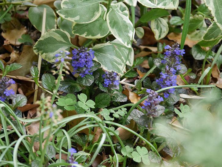 アジュガ-レプタンスの花が増えて来た。2020年-4.jpg