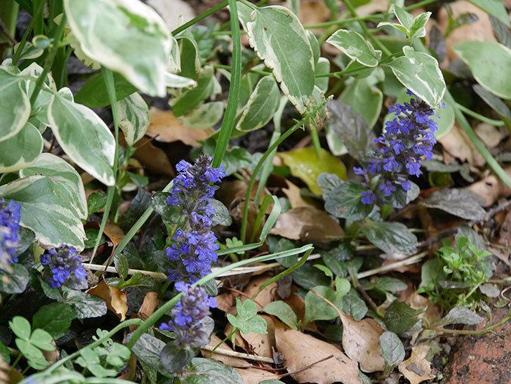 アジュガ-レプタンスの花が増えて来た。2020年-5.jpg