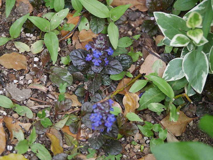 アジュガ レプタンスの花が咲いた。2021年-001.jpg