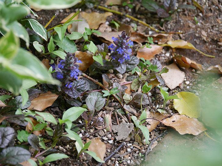 アジュガ レプタンスの花が咲いた。2021年-002.jpg