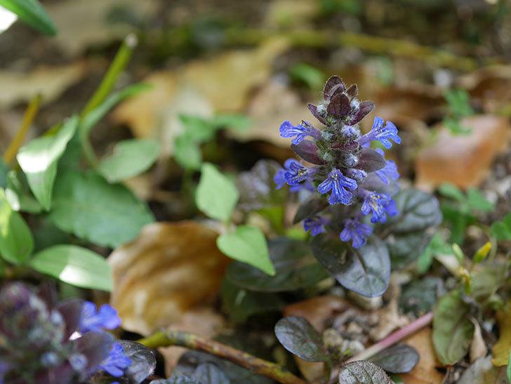アジュガ レプタンスの花が咲いた。2021年-011.jpg