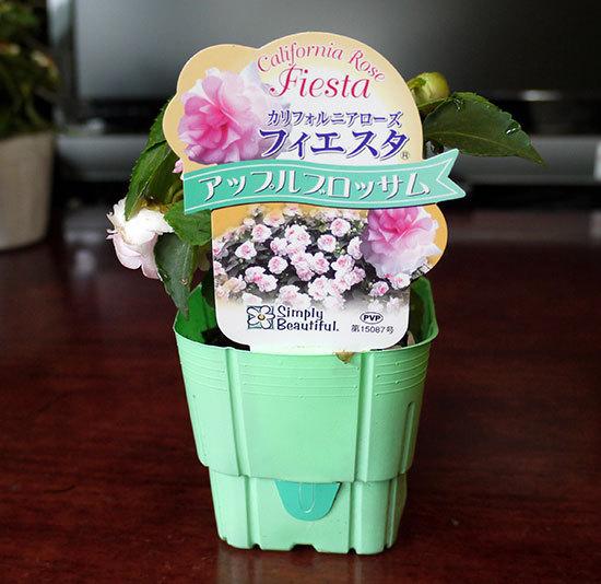 アップル-ブロッサム(Apple-Blossom)を買ってきた2.jpg