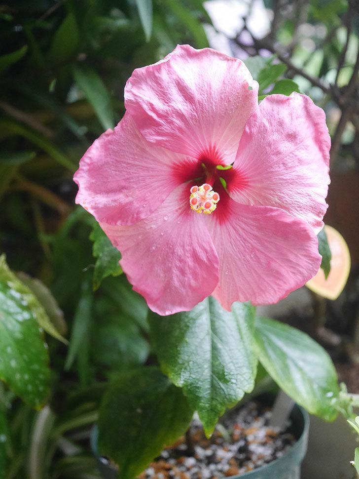 アドニスの花が咲いた。2021年-005.jpg