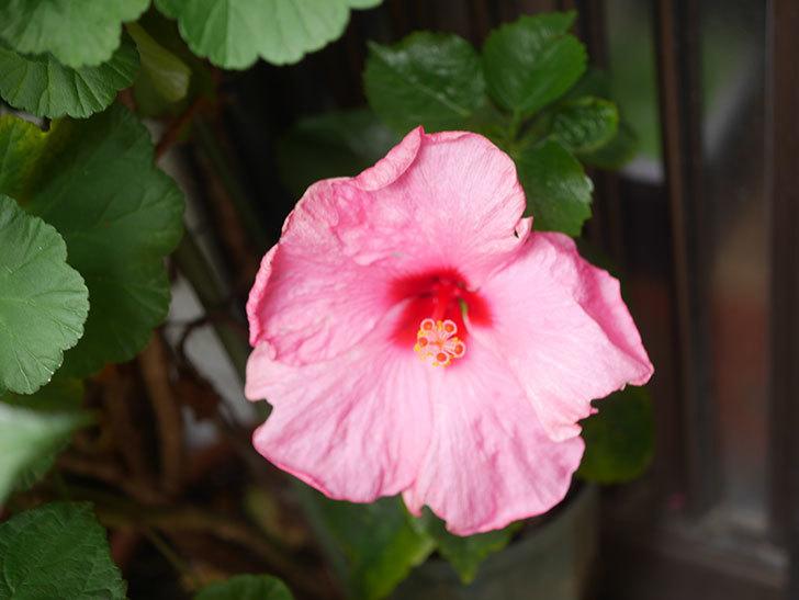 アドニスの花が咲いた。2021年-010.jpg