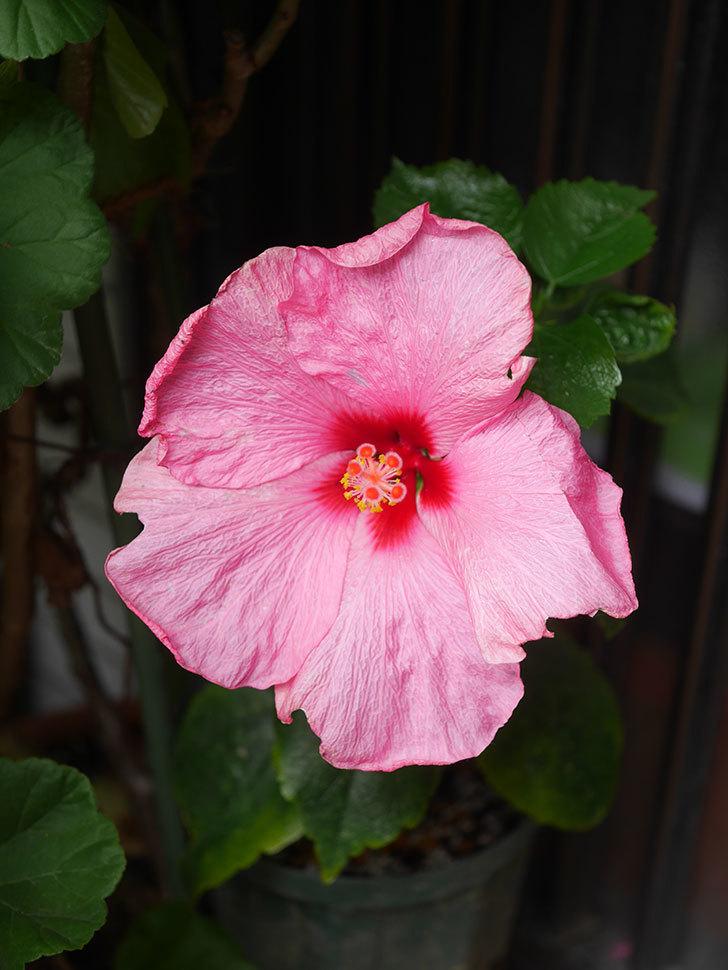 アドニスの花が咲いた。2021年-014.jpg
