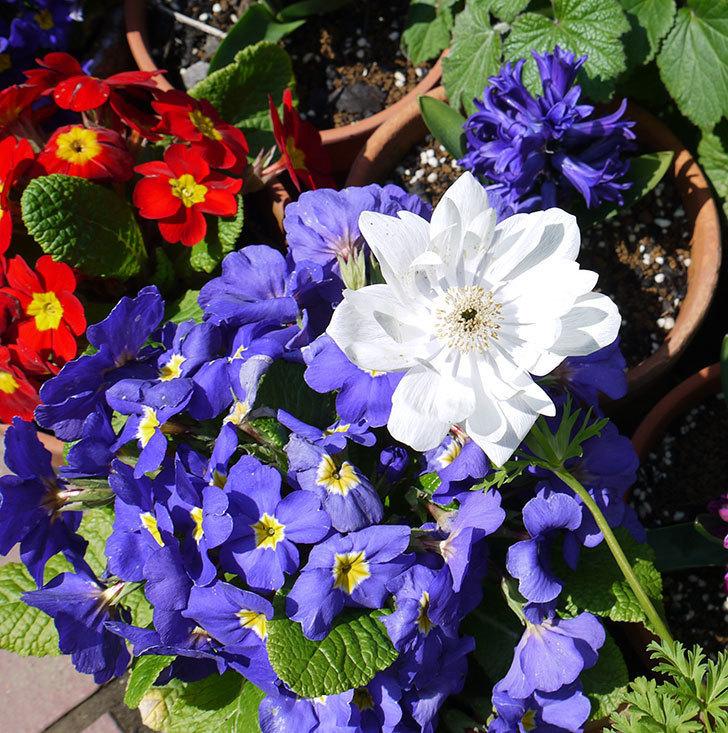 アネモネの花が増えてきた。2017年-6.jpg