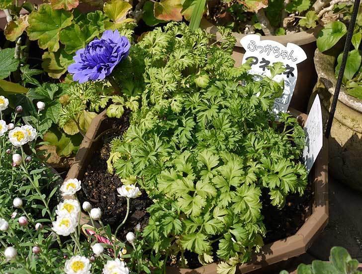 アネモネを2個一緒の鉢に植えた5.jpg