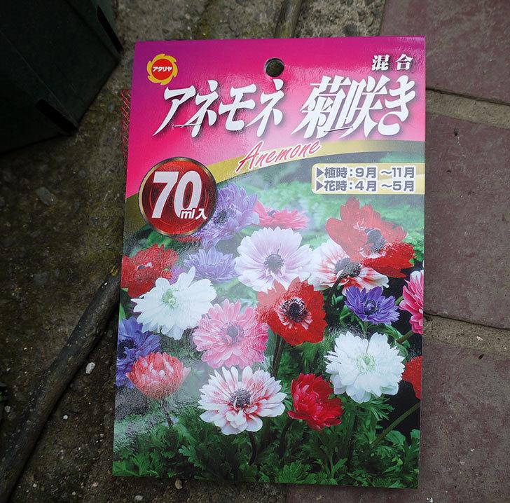アネモネ・モナーク-菊咲きの球根をホームズで買って来た。2016年-1.jpg