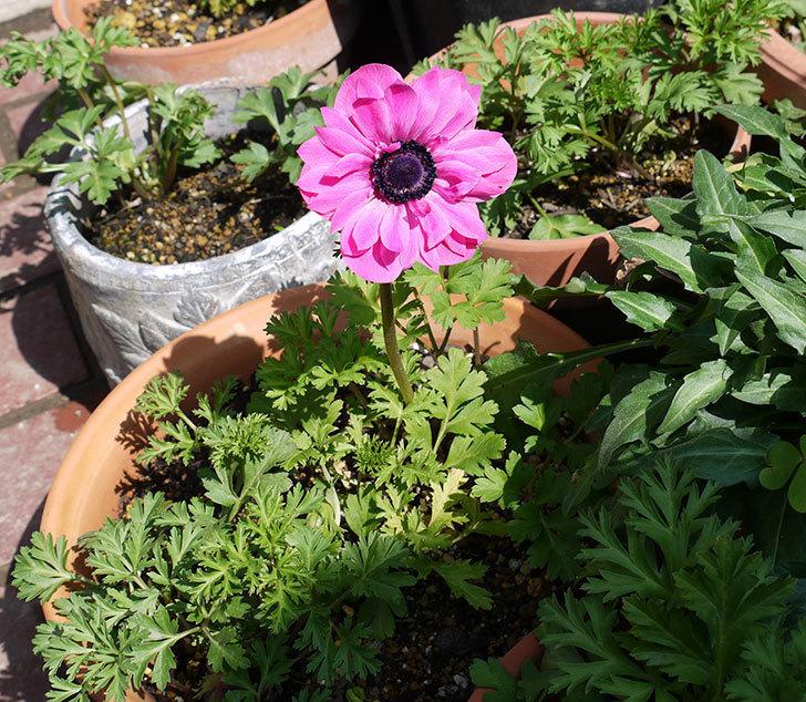 アネモネ・モナークのピンクが咲いた。2017年-2.jpg