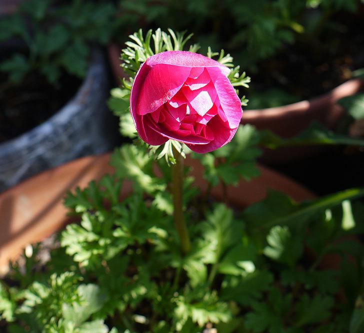 アネモネ・モナークのピンクが咲いた。2017年-3.jpg
